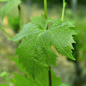 List Vinič hroznorodý / Vitis vinifera